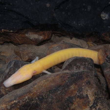 An olm, an endangered cave-dwelling animal, which rewilding projects are focused on saving from extinction.