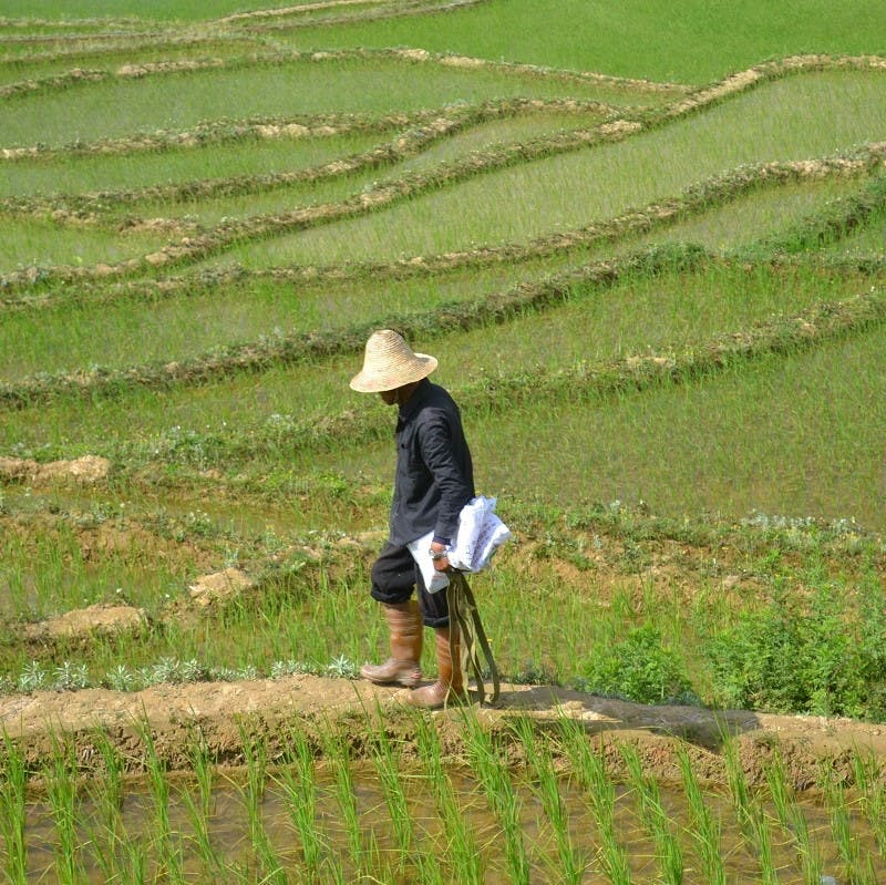 A Chinese farmer in rice fields.