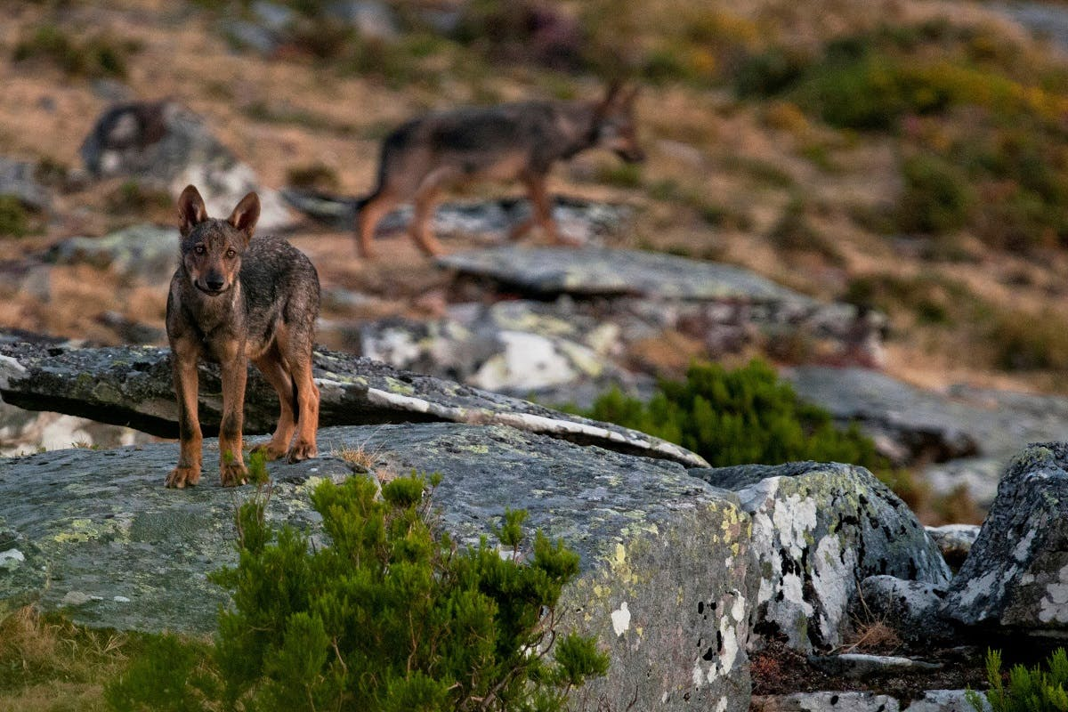Two Iberian wolves stand atop a rocky outcrop in the north of Portugal.