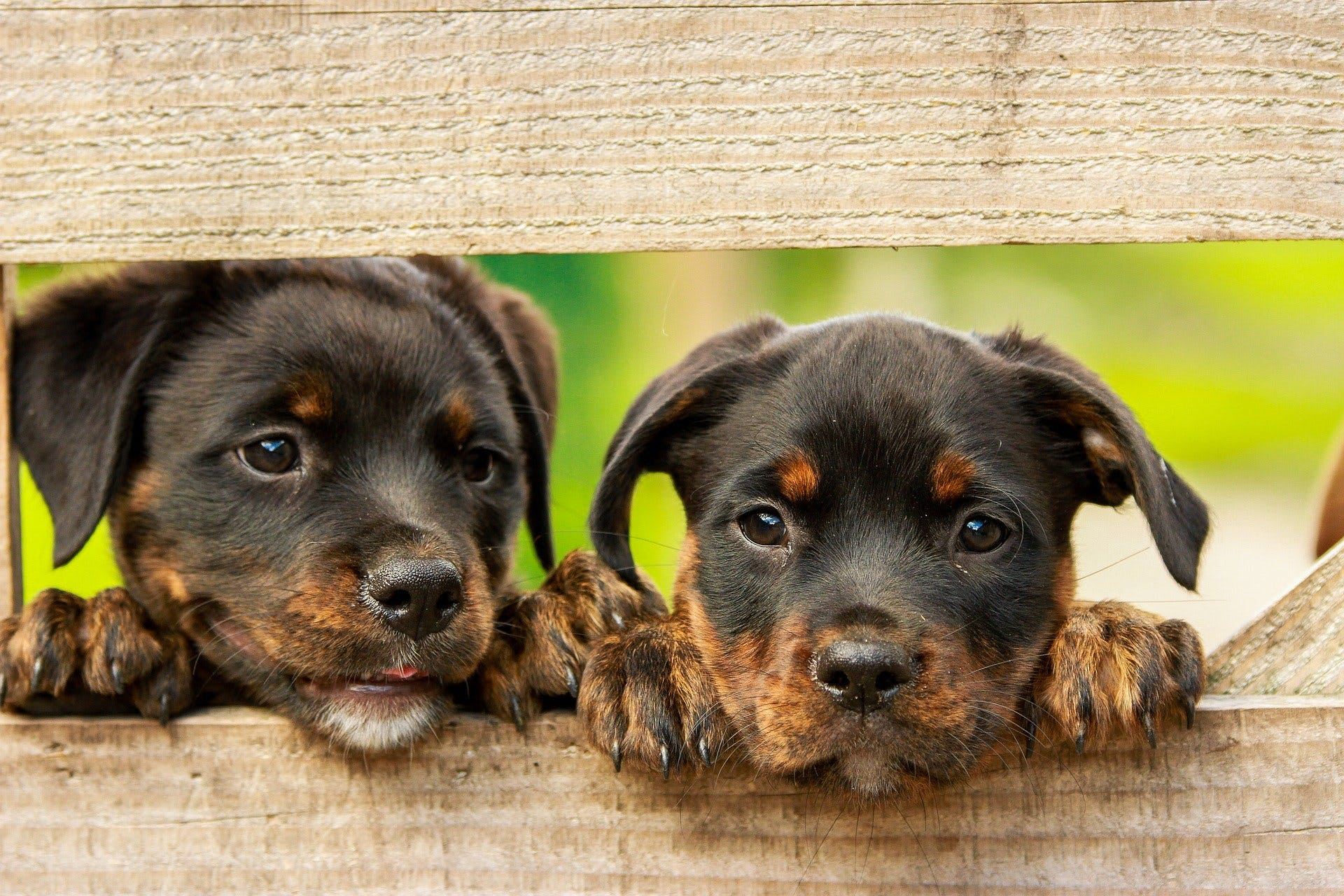 Two young puppies poking their heads through a hole in a gate.