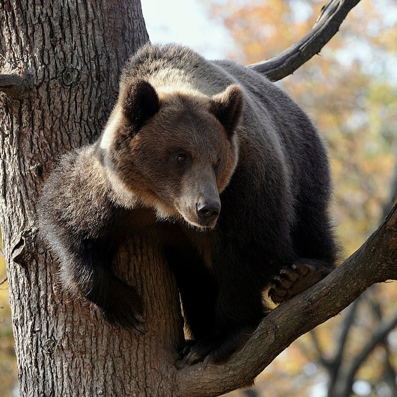 A European brown bear climbing up a tree.