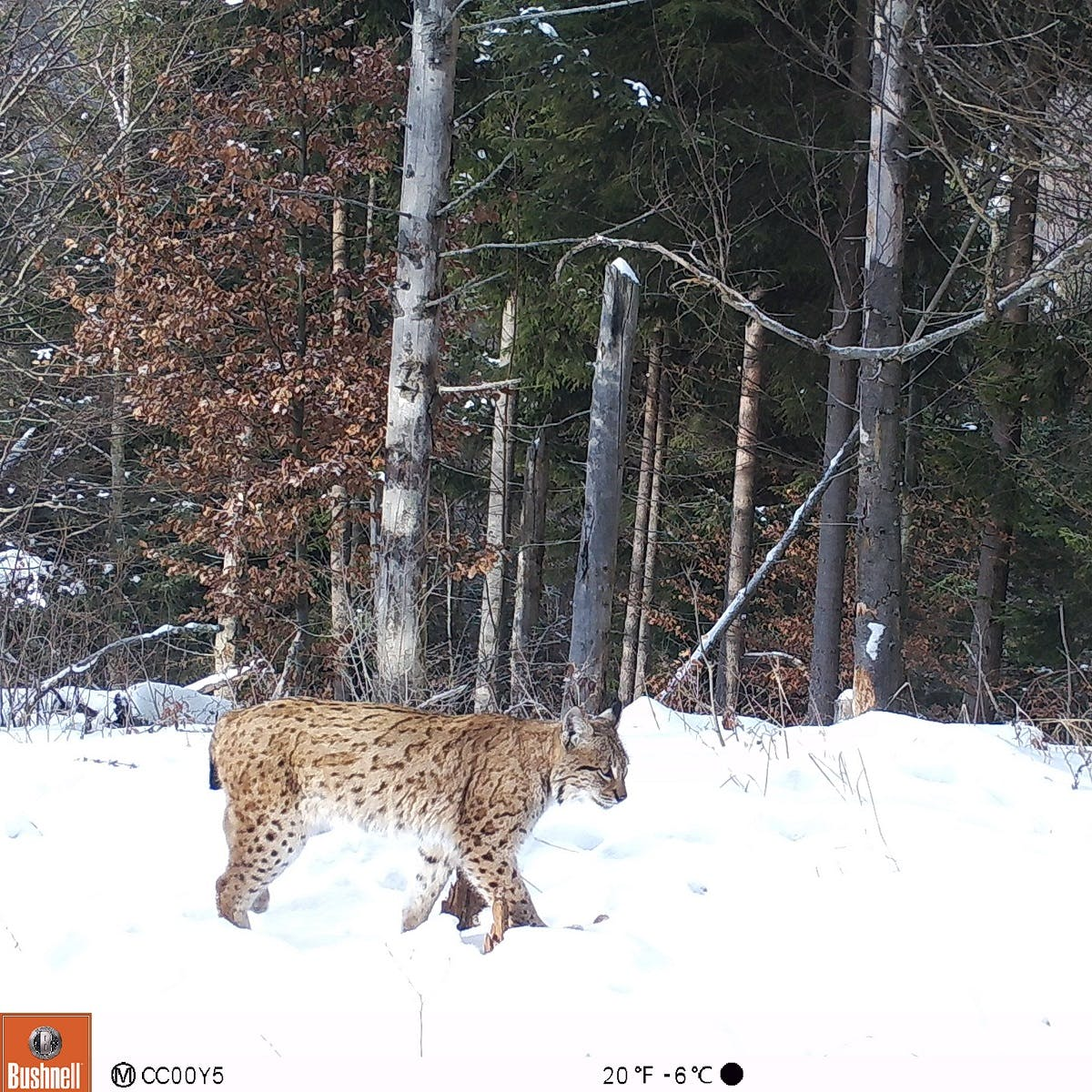 A lynx caught on our camera trap in Romania's Southern Carpathians