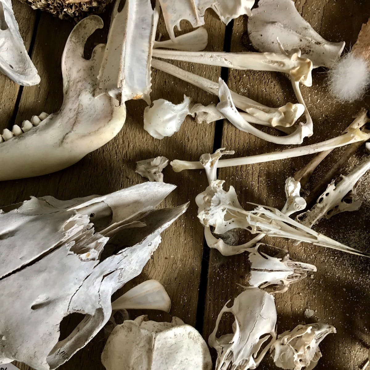 A collection of wildlife bones and skulls depicting the sixth mass extinction.