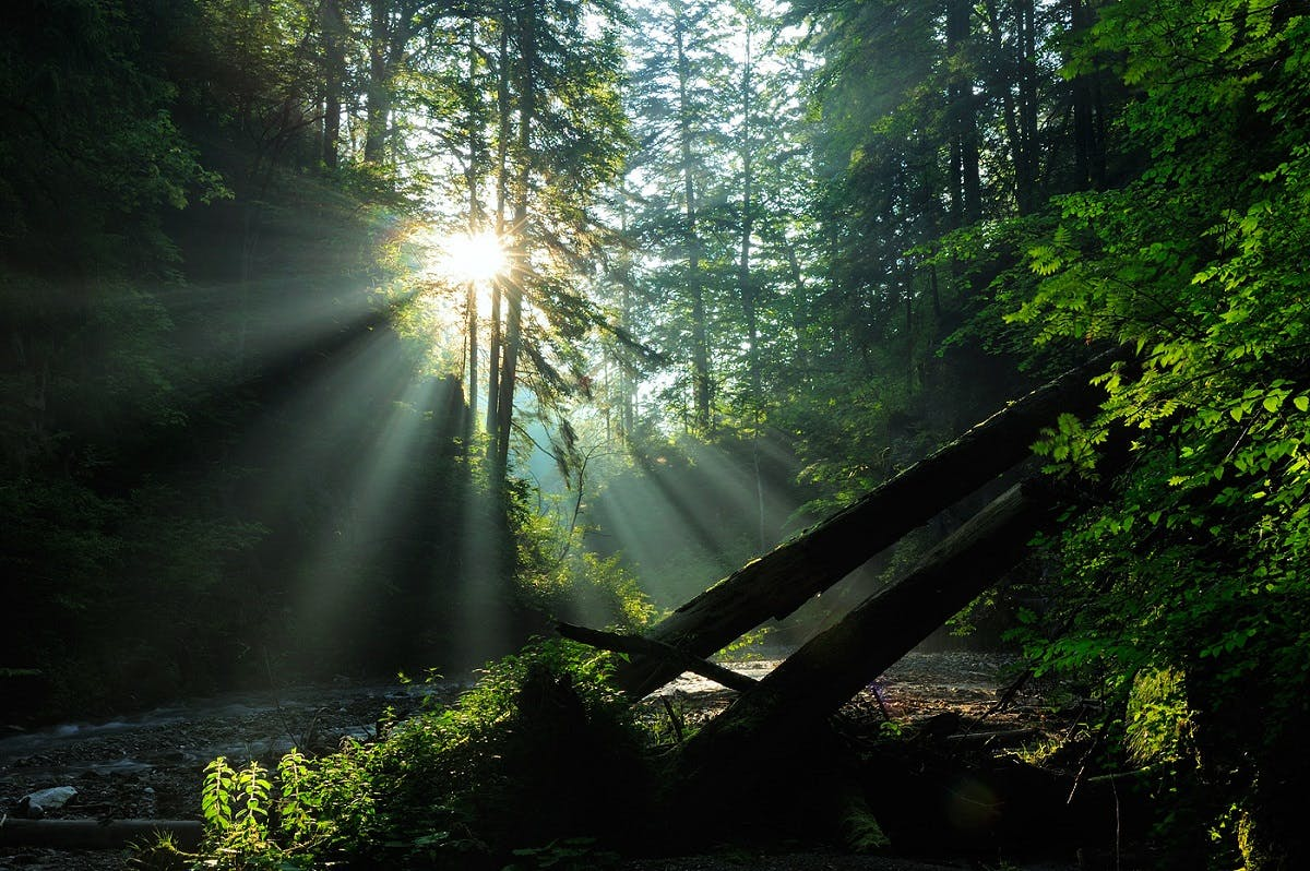 An growth forest with the sun shining through its canopy.