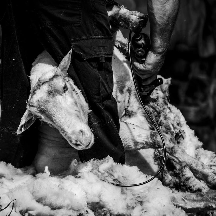 A sheep being sheared. Sheep often suffer in the shearing process and so woollen products are viewed as unethical by some groups.