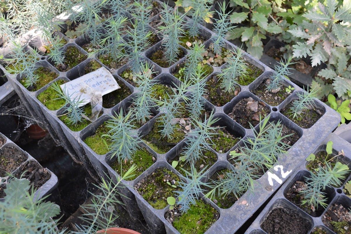 Tree saplings are grown in a nurseries before planting.