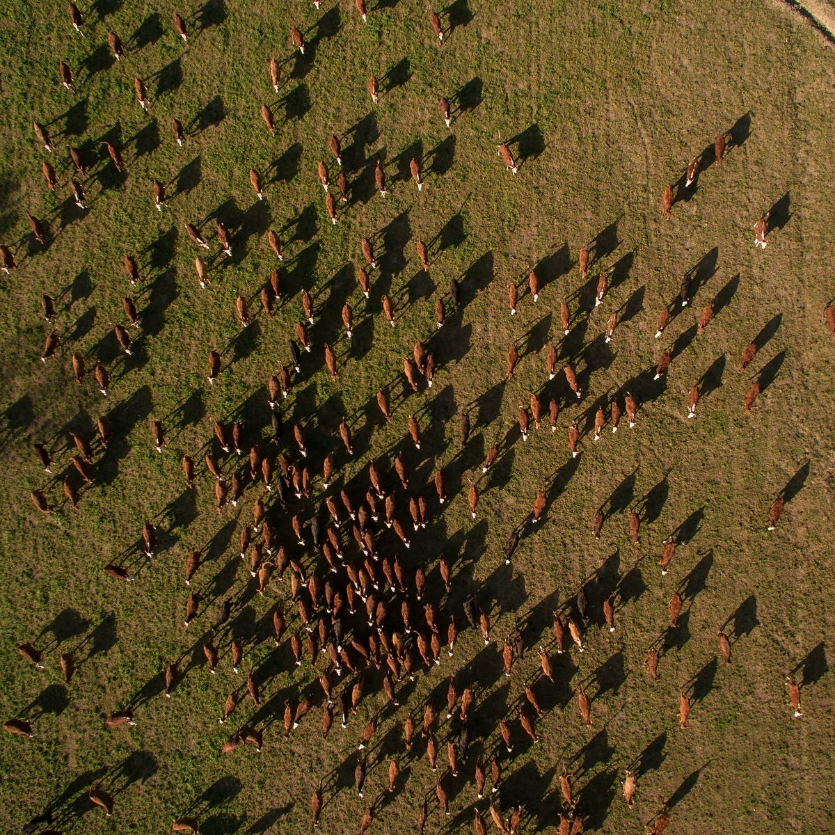 A drone image of an enormous cattle ranch, with not a tree in sight. Animal agriculture is the leading cause of deforestation.