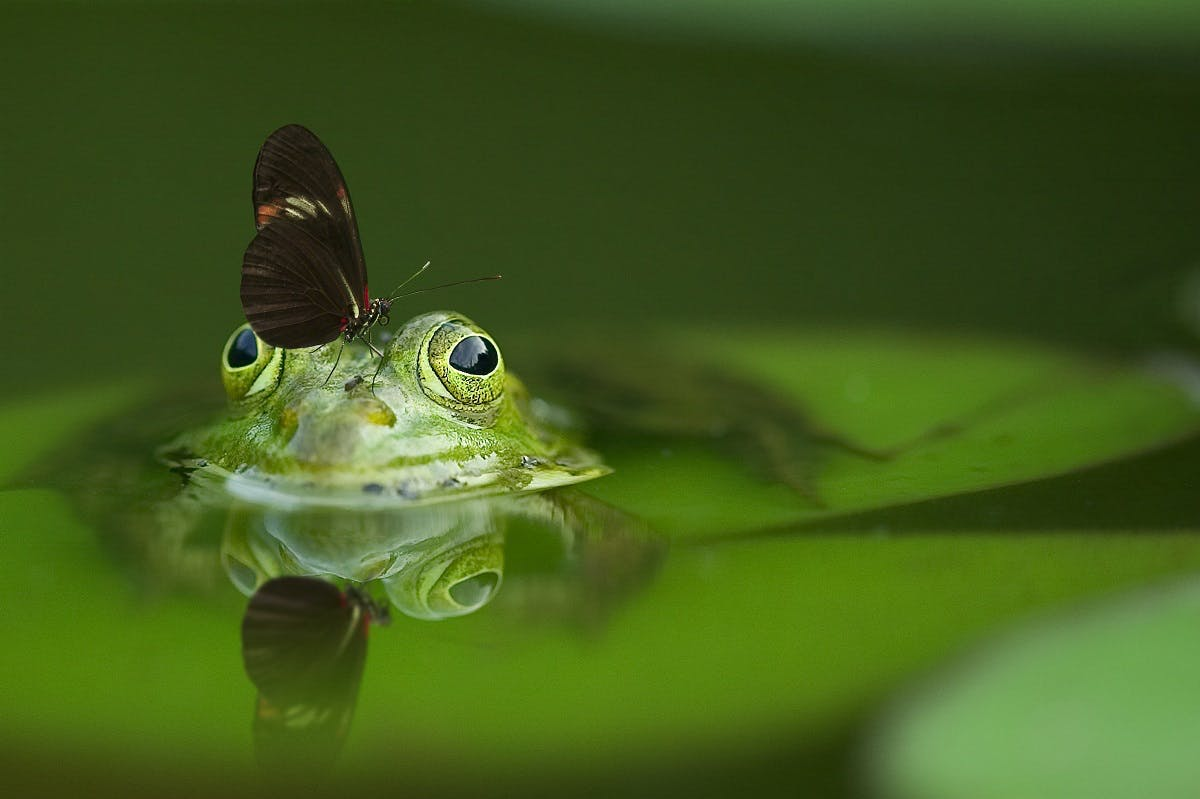 A frog with a butterfly on its head. The epitome of what is biodiversity.