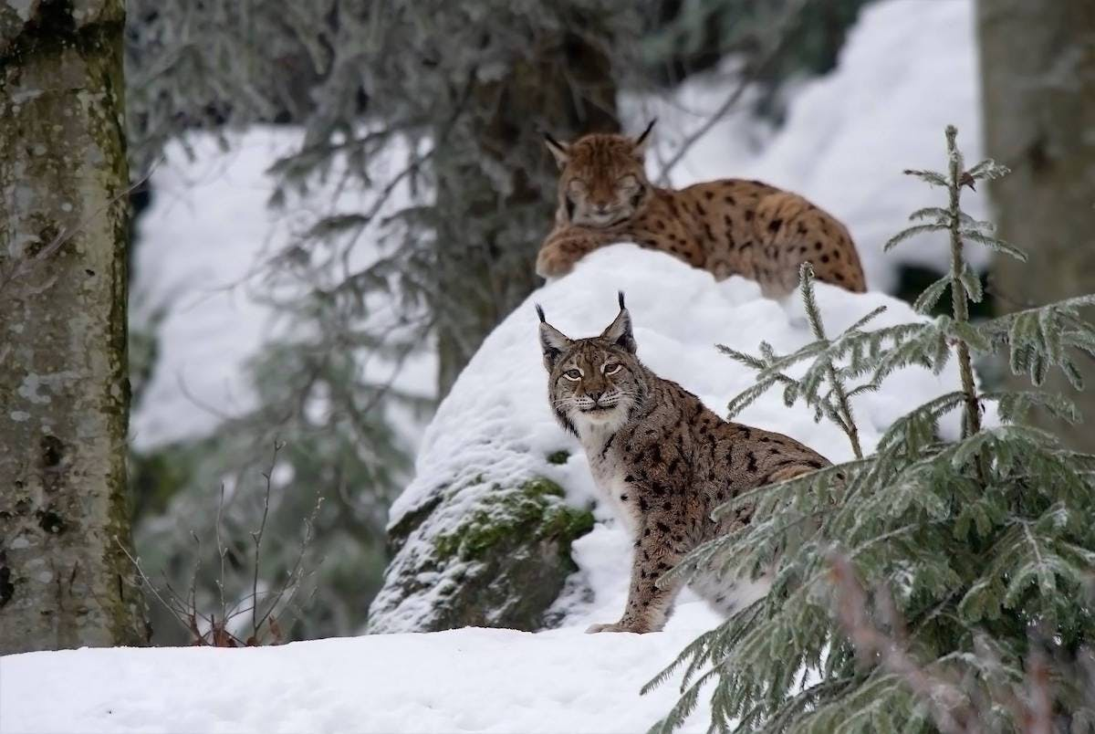 Two Eurasian lynx rest in a snow covered conifer forest