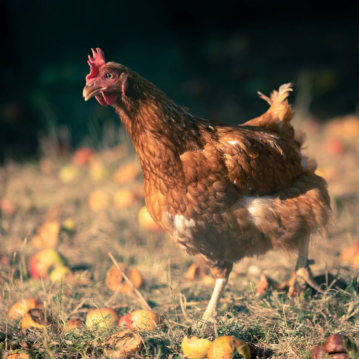 Free roaming chickens are at the centre of permaculture principles