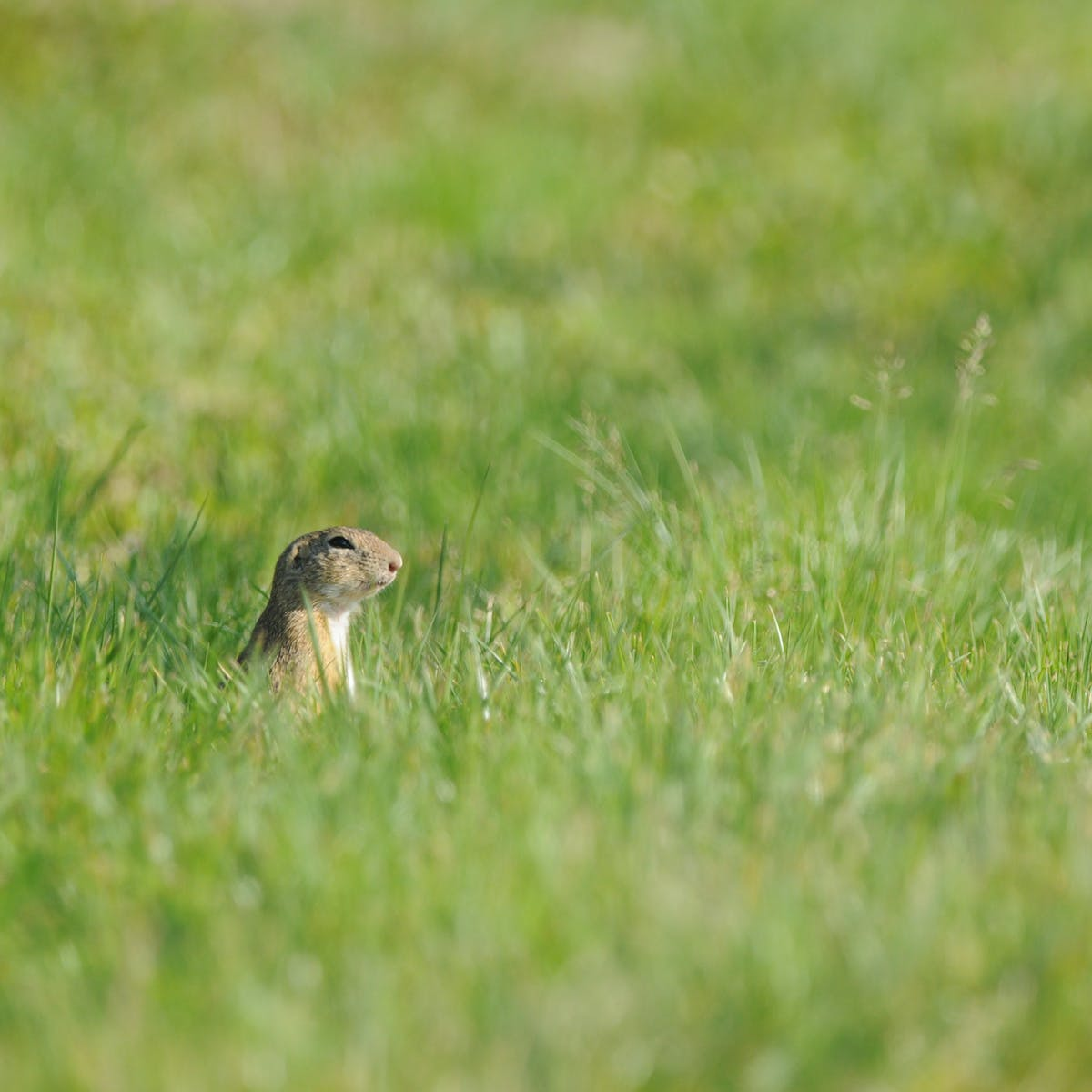A ground squirrel pokes its head above a field of green grass