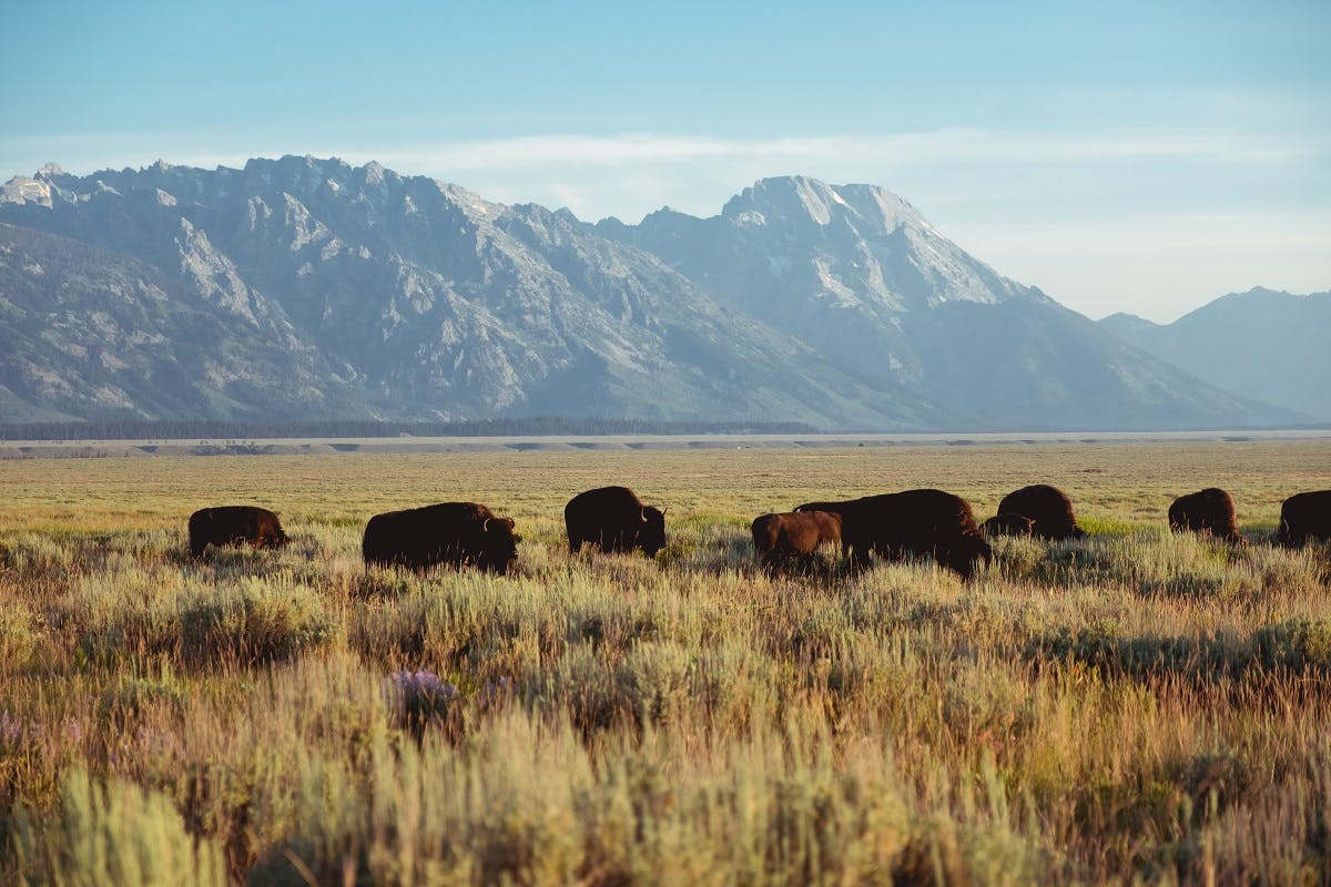 A herd of bison grazing in the great plains of North America.