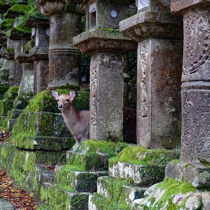 A deer in Nara, Japan, peers out from a cemetery during the covid-19 lockdown as the city rewilds.