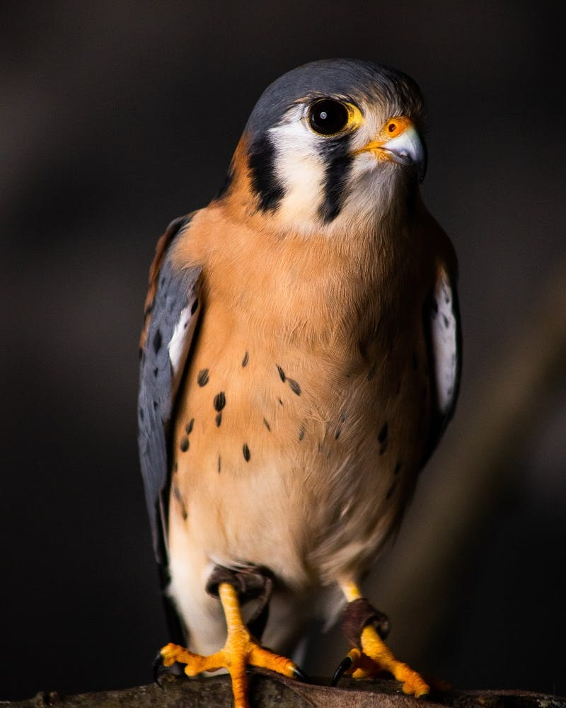 A portrait of peregrine falcon, one of the birds being brought back to wilder lands at the Knepp Castle Estate in the UK.
