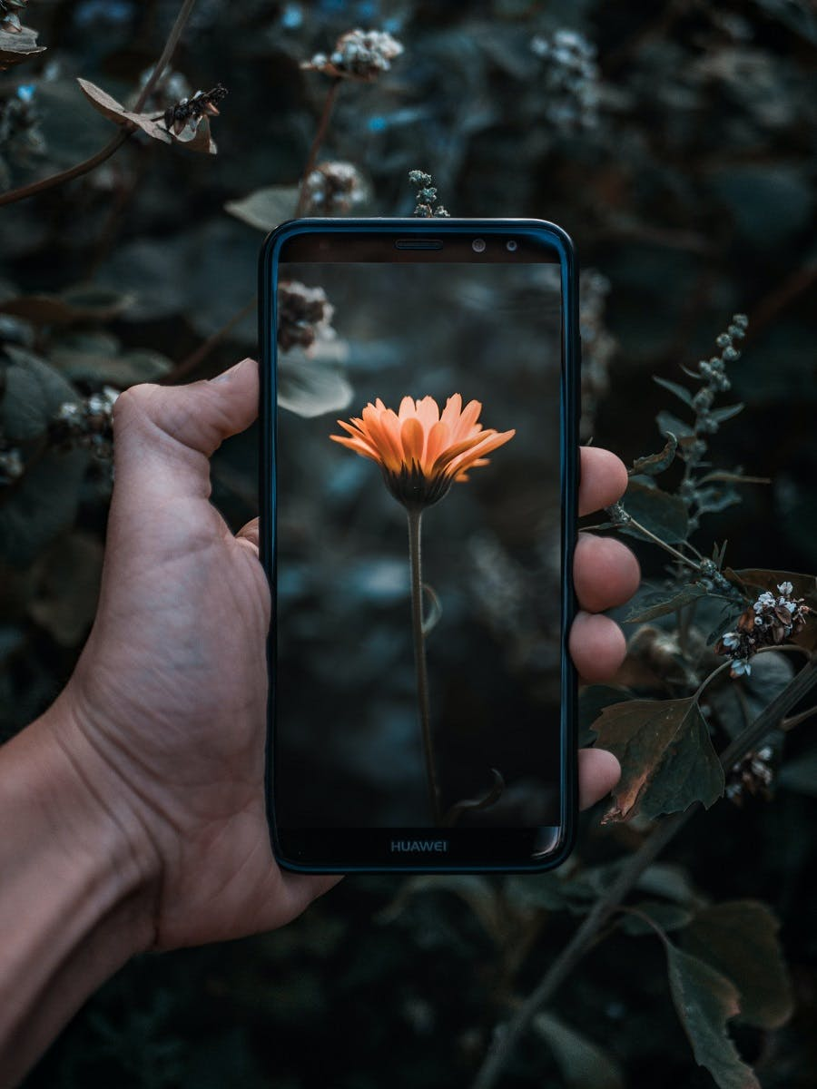 A wild food foraging app being used to identify a wild flower.