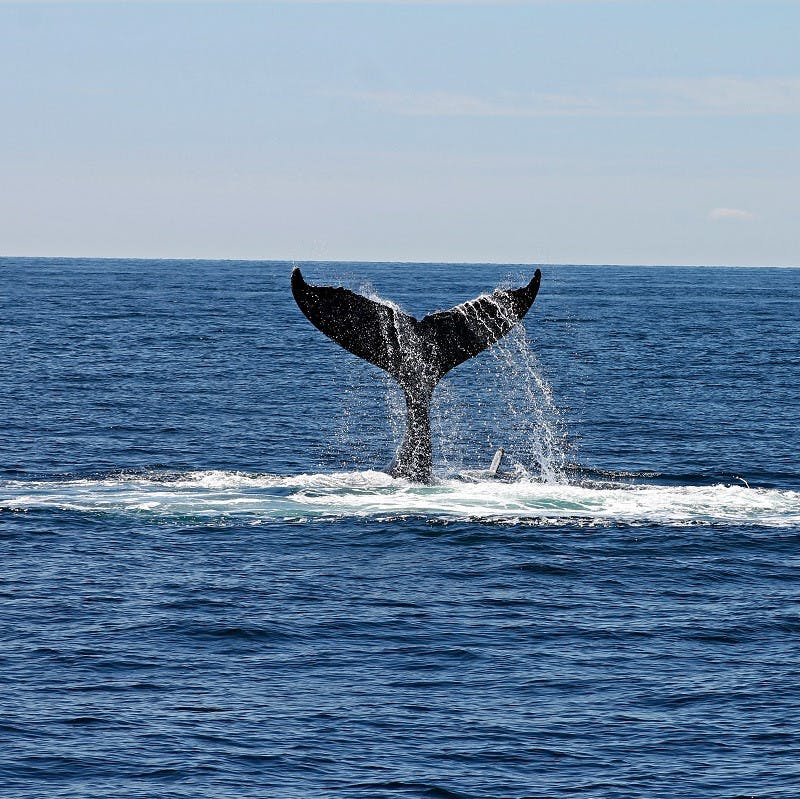 A whale's tail as it dives below the surface in a whale pump.