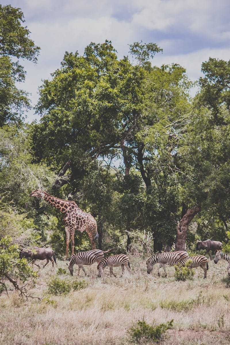 Giraffe and zebra grazing together in a forest clearing. A great example of biodiversity in play.