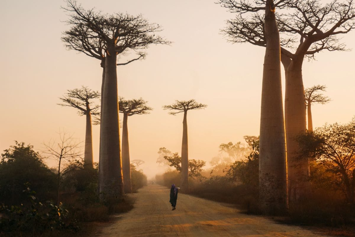 A person walks down a dusty avenue of Baobab trees on either side. Sadly this ancient species is under threat from climate change.