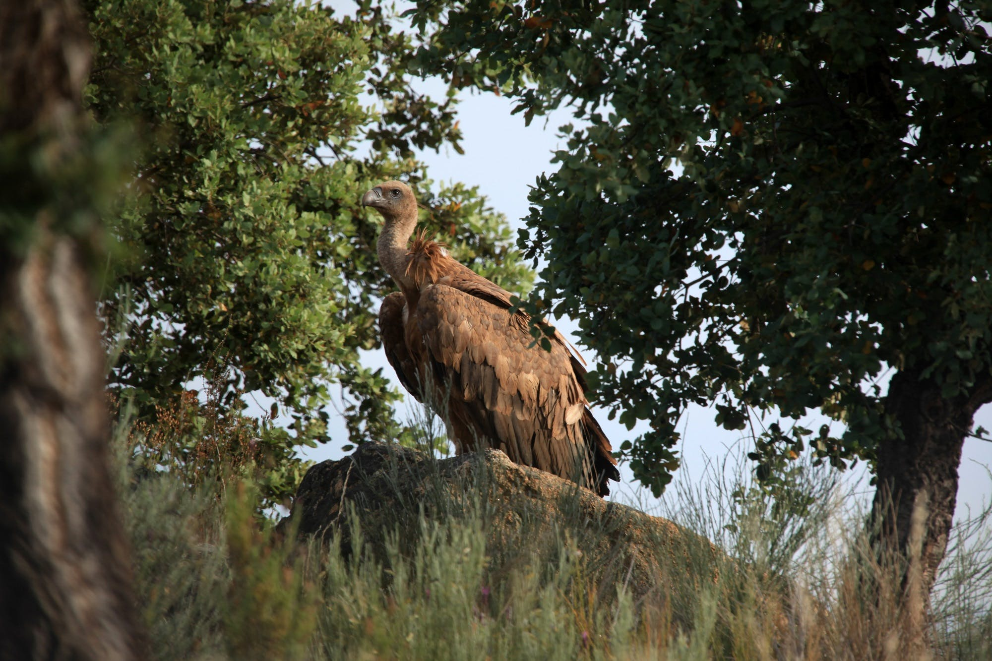Griffon vulture among the vegetation at the project area in the Côa Valley
