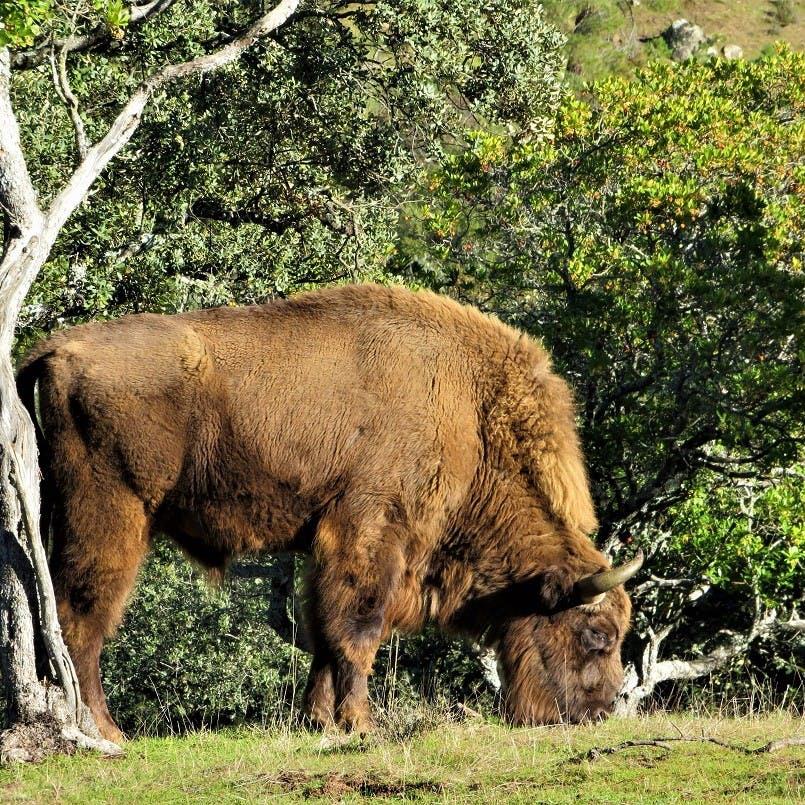 A reintroduced European bison grazes in a rewilding project site.