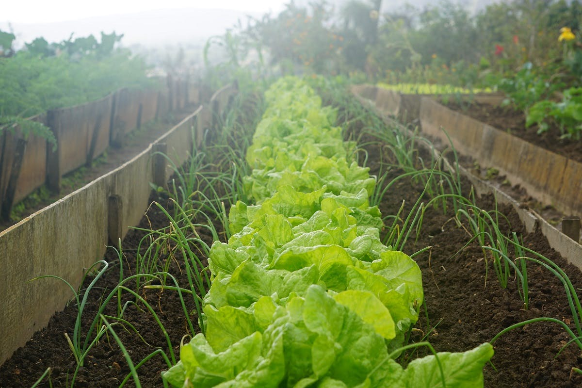 A row of lettuces and onions in an allotment. Growing your own is an easy way to ensure you are eating seasonally and local