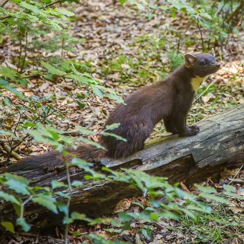 A pine marten in an Irish woodland. The pine marten plays a key role in wildlife in Ireland.  They have rolled back the grey squirrel population, allowing native red squirrels to recolonise.