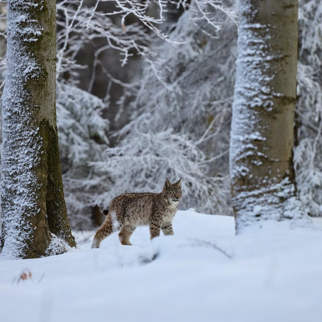 A Eurasian Lynx in a European Forest. What does the future hold for Lynx in Britain and Ireland?