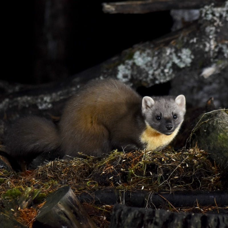A pine marten sits on a fallen log in a forest. Pine martens have become the success story of rewilding in Britain.