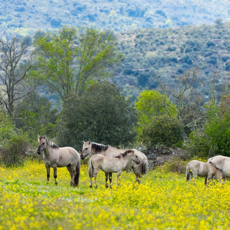 Wild horses grazing in a meadow