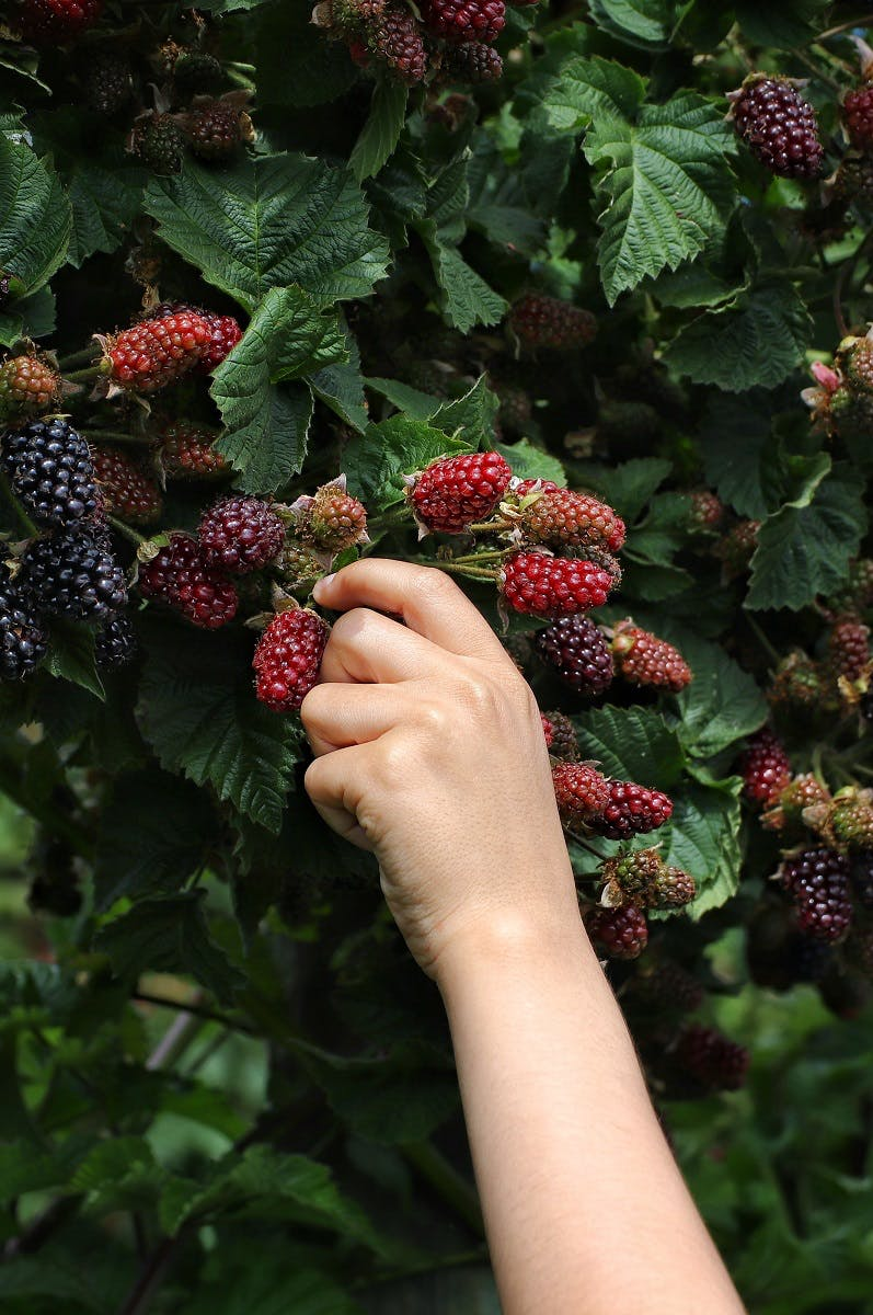 Wild blackberries a simple way to start wild food foraging.