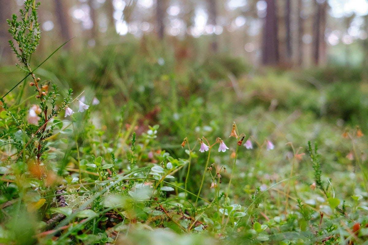 Twinflower in Scotland