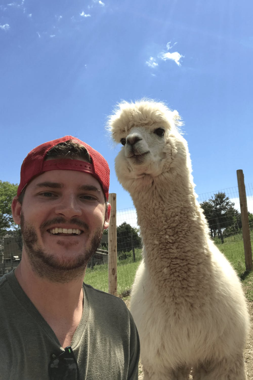 Alpacas in Colorado