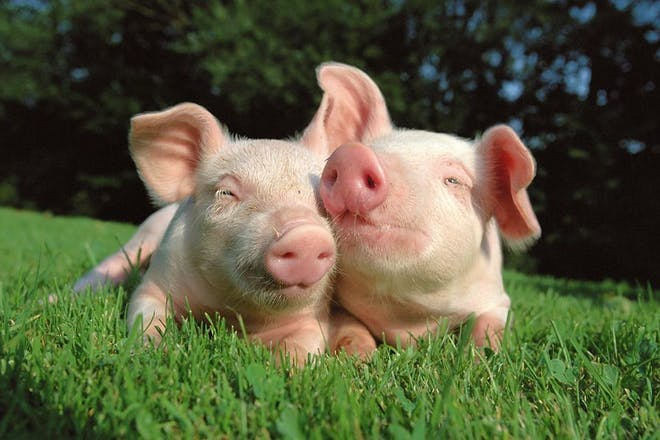 piglets at streamvale open farm belfast