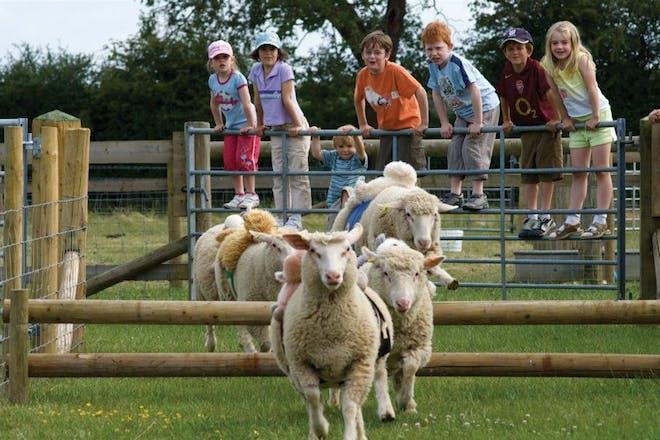 children watching sheep race