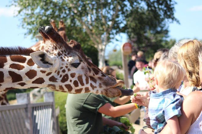 giraffe being fed at Colchester Zoo