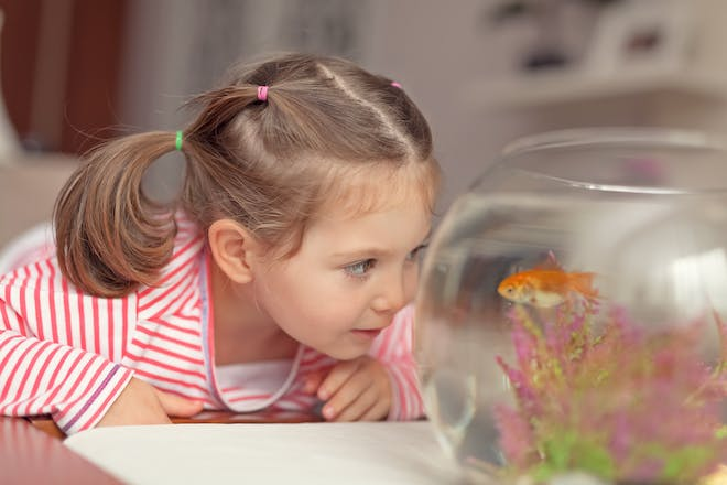 little girl looking at goldfish in bowl