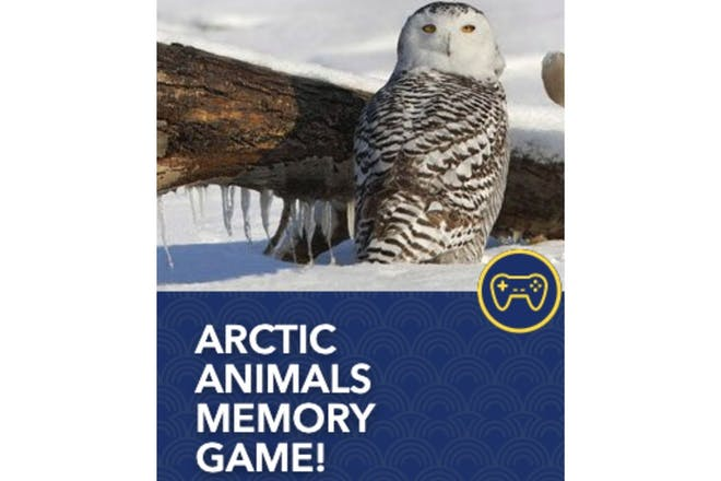 Artic owl on snow