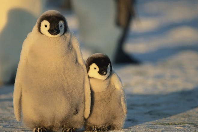 baby penguins in the snow