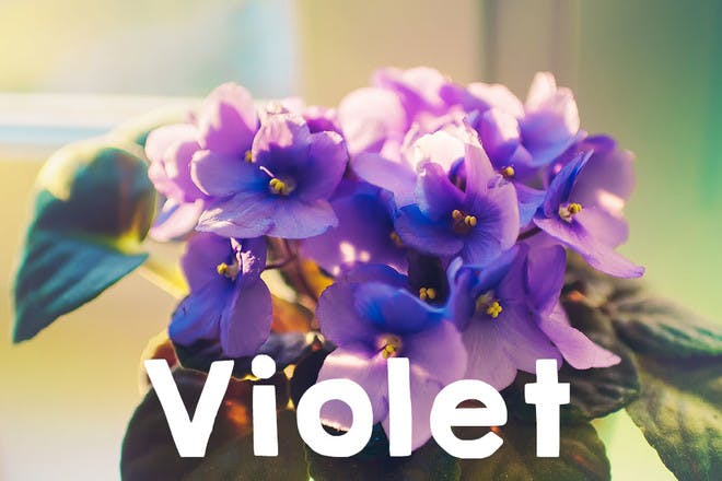 29. Violet