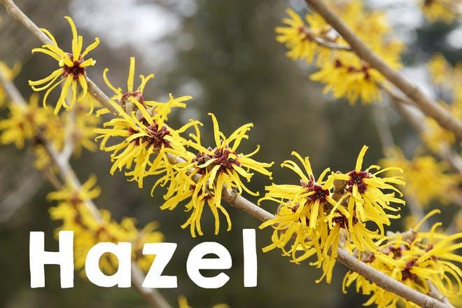 13. Hazel
