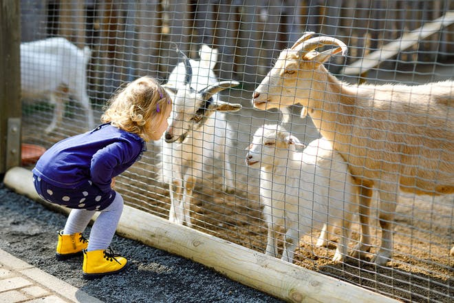 Little girl looking at goats at petting zoo