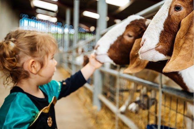 Young girl petting goats