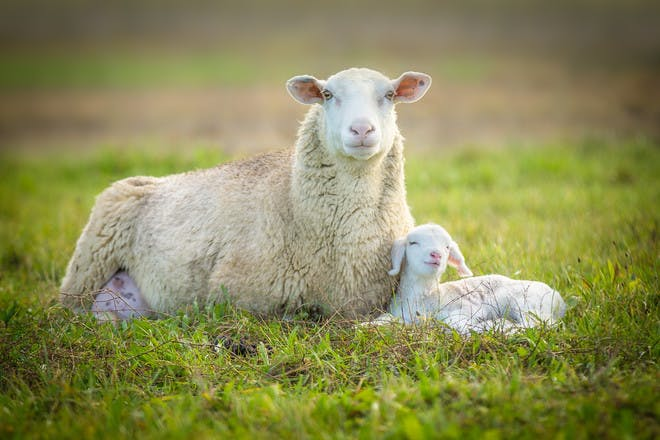 Spring sheep and lamb pictures to print and colour