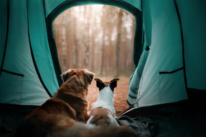 dogs in a tent