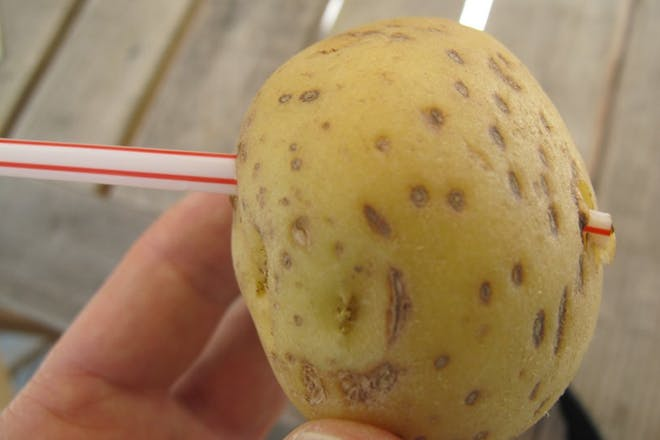 Potato straw experiment