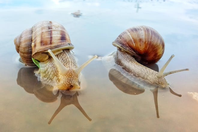 Two snails crawling in shallow sea