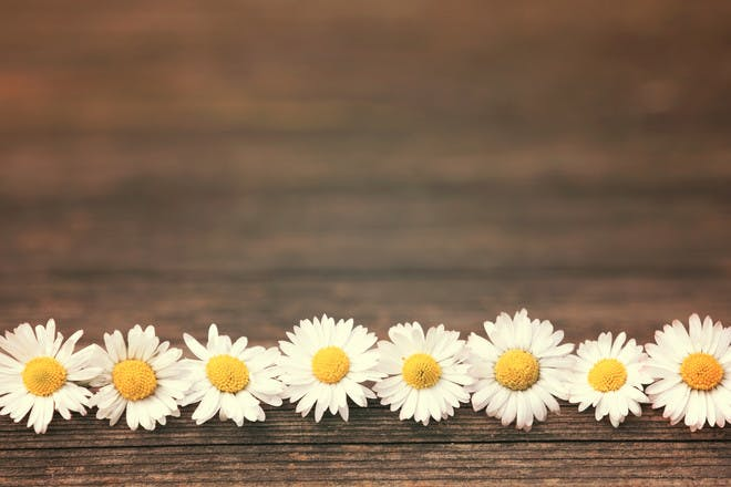 daisies in row