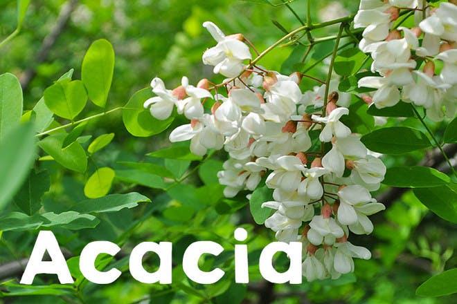 1. Acacia