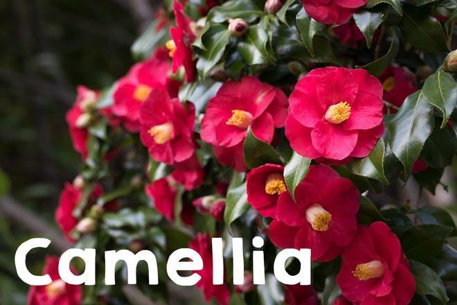 7. Camellia