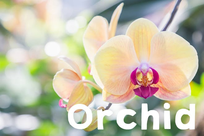 22. Orchid
